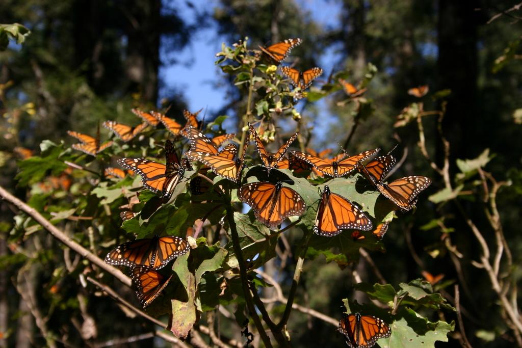 Meksika: kelebeklerin devrimi